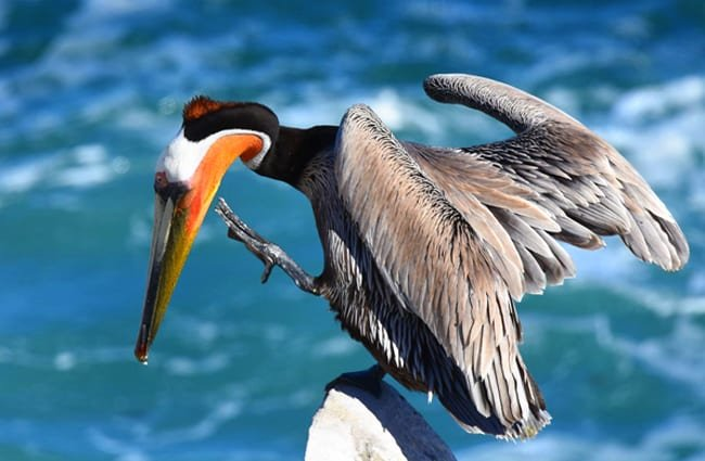 Brown Pelican balanced on a rock Photo by: Andy Reago & Chrissy McClarren https://creativecommons.org/licenses/by/2.0/