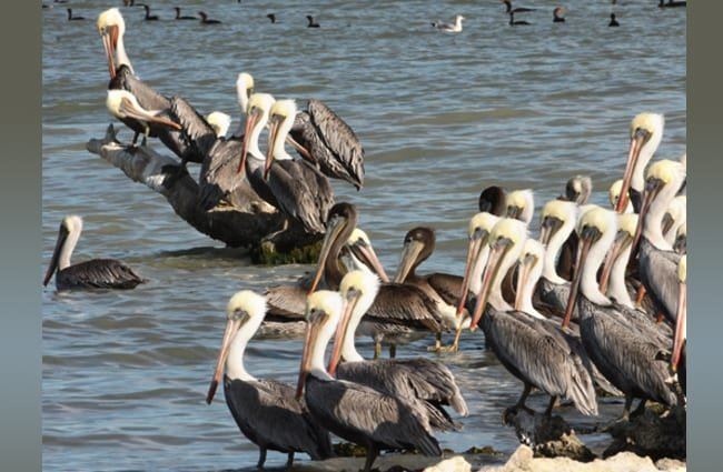 Large flock of Brown Pelicans Photo by: Matt Tillett https://creativecommons.org/licenses/by/2.0/