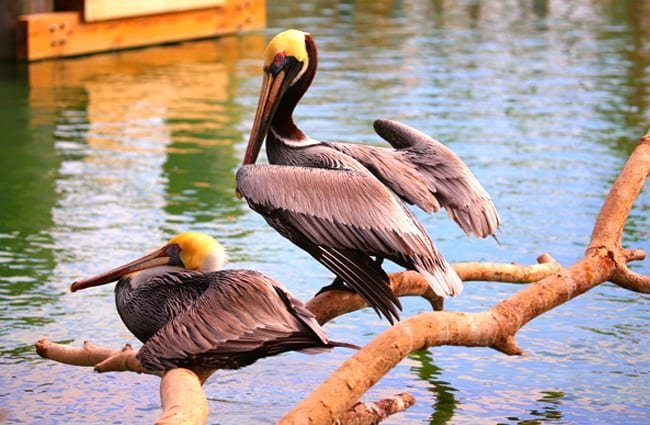 Brown Pelicans on a tree branch Photo by: cuatrok77 https://creativecommons.org/licenses/by/2.0/