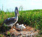 Brown Pelican And Chick On Nest Photo By: Pete Mcgowan/ U.s. Fish And Wildlife Service Northeast Region Https://creativecommons.org/licenses/by/2.0/