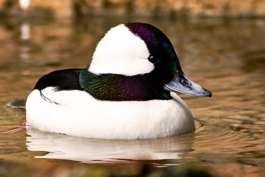 Portrait of a Bufflehead duck floating on a pondPhoto by: Rennett Stowehttps://creativecommons.org/licenses/by/2.0/