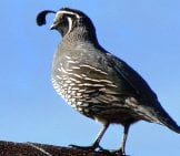 A Male California Quail Posted As Sentryphoto By: Phillip Cowanhttps://creativecommons.org/licenses/by-Nd/2.0/