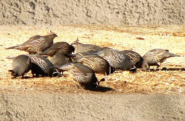 A covey of California Quail eating seed Photo by: Phillip Cowan https://creativecommons.org/licenses/by-nd/2.0/