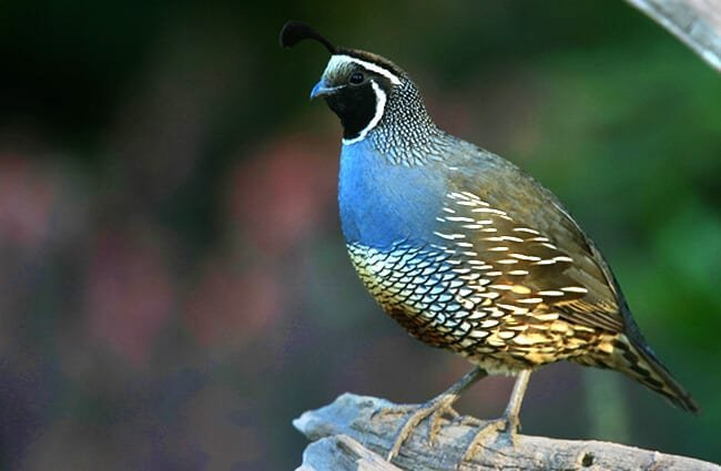"Male California Quail watching over his territory Photo by: Gregory ""Slobirdr"" Smith https://creativecommons.org/licenses/by-nd/2.0/"