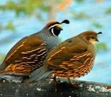 A Mated Pair Of California Quail Photo By: Jim Sedgwick Https://creativecommons.org/licenses/by-Nd/2.0/