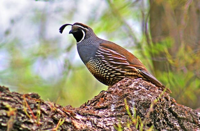 A beautiful male California Quail on a fallen tree Photo by: Andrey Zharkikh https://creativecommons.org/licenses/by-nd/2.0/