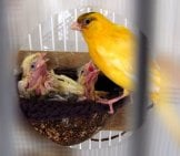 Female Canary Feeding Her Tiny Chicks Photo By: Warrior Squirrel Https://creativecommons.org/licenses/by-Nc/2.0/