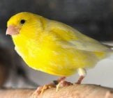 Closeup Of A Yellow Canary Photo By: Ben Ponsford Https://creativecommons.org/licenses/by-Nc/2.0/