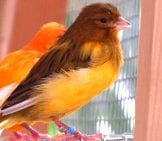 Beautiful Orange Canaries Photo By: Warrior Squirrel Https://creativecommons.org/licenses/by-Nc/2.0/