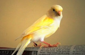 Canary reading the newspaper!Photo by: Jocelyn Erskine-Kelliehttps://creativecommons.org/licenses/by-nc/2.0/