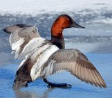 Beautiful Canvasback Drake Posing For A Photophoto By: Rodney Campbell//creativecommons.org/licenses/by/2.0/