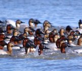 A Raft Of Canvasbacks Diving And Surfacing Photo By: Virginia State Parks //creativecommons.org/licenses/by/2.0/