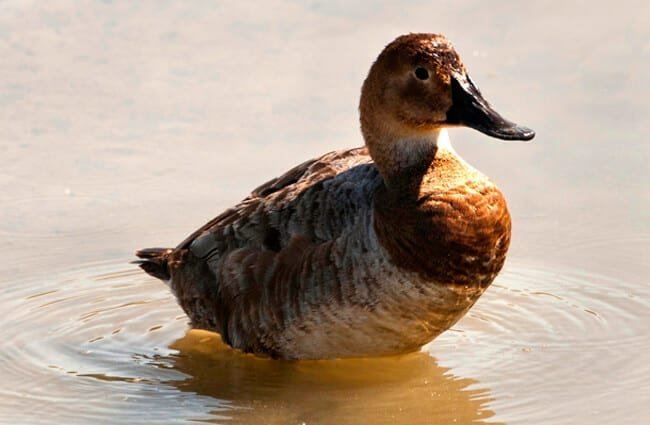 Female Canvasback duck Photo by: Becky Matsubara //creativecommons.org/licenses/by/2.0/