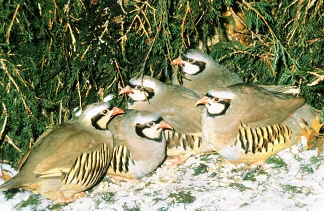 Chukars on a wild private game farm in Wisconsin Photo by: Wisconsin Department of Natural Resources https://creativecommons.org/licenses/by-sa/2.0/