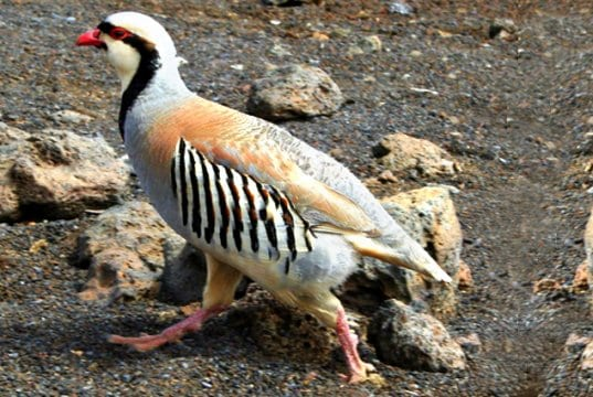 Beautiful Chukar Photo by: Cyndy Sims Parrhttps://creativecommons.org/licenses/by-sa/2.0/