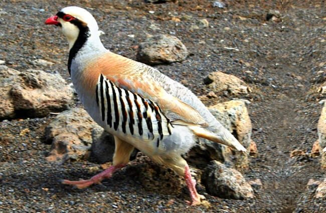Beautiful Chukar Photo by: Cyndy Sims Parr//creativecommons.org/licenses/by-sa/2.0/