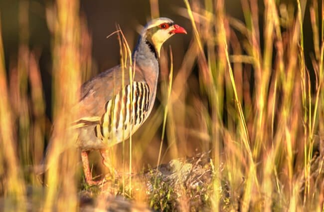 Chukar partridge is a Eurasian upland gamebird Photo by: (c) CreativeNature www.fotosearch.com