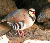 Chukar Partridge Bird Of Haleakala National Park Maui Photo By: (C) Sheri_Armstrong Www.fotosearch.com