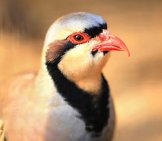 Closeup Of A Beautiful Chukar Photo By: (C) Prymachenko Www.fotosearch.com