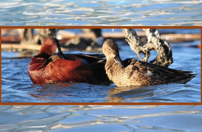 A pair of Cinnamon Teal ducks Photo by: USFWS Mountain-Prairie https://creativecommons.org/licenses/by/2.0/
