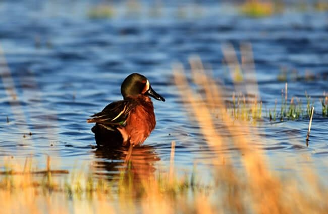 Cinnamon Teal duck Photo by: USFWS Mountain-Prairie https://creativecommons.org/licenses/by/2.0/