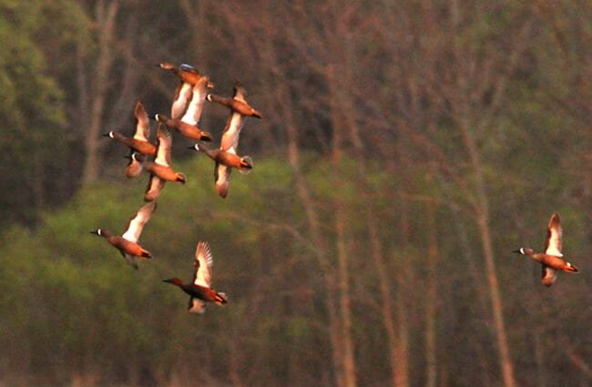 A flock of Cinnamon Teals at Maple River SGA, MI Photo by: Caleb Putnam, Public Domain https://creativecommons.org/licenses/by/2.0/