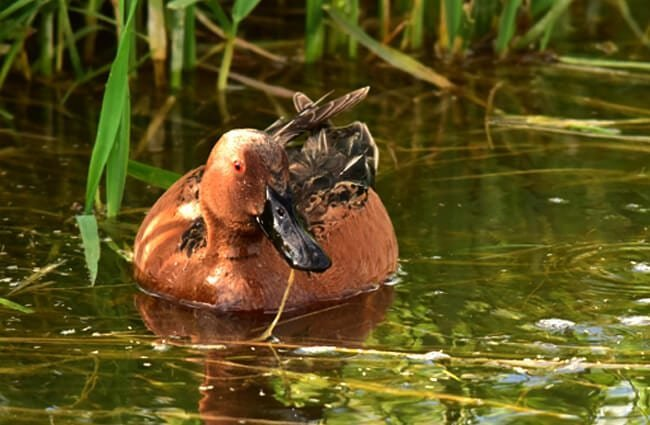 Cinnamon teal on Seedskadee National Wildlife Refuge Photo by: Tom Koerner, USFWS Mountain-Prairie https://creativecommons.org/licenses/by/2.0/