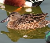 Cinnamon Teal Hen At Turnbull Birding Center, Port Aransas, Tx Photo By: Alan Schmierer Https://creativecommons.org/licenses/by/2.0/