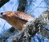 Cooper's Hawk With His Dinner Photo By: Brian Ralphs Https://creativecommons.org/licenses/by/2.0/