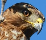 Cooper's Hawk - He's Watching You!photo By: Don Owens//creativecommons.org/licenses/by/2.0/