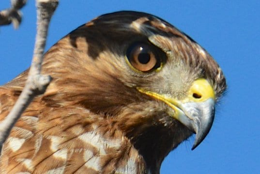 Cooper's Hawk - He's watching you!Photo by: Don Owenshttps://creativecommons.org/licenses/by/2.0/