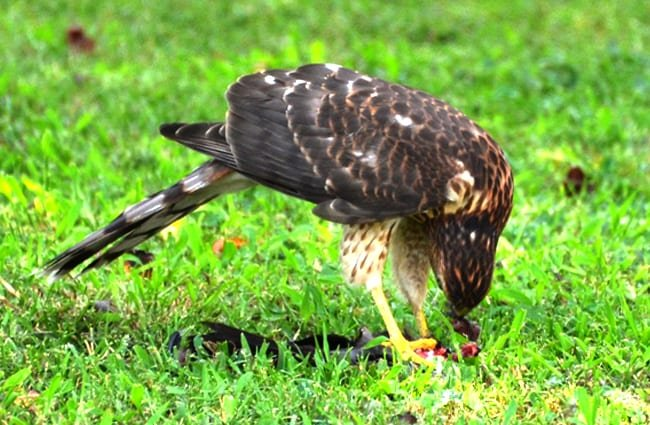 Cooper's Hawk caught his lunch after the bird feeder was filled Photo by: Tony Alter //creativecommons.org/licenses/by/2.0/