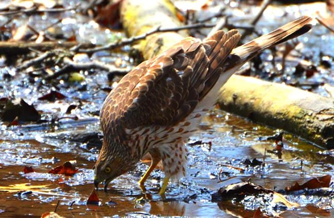 Cooper's Hawk at the river's edge Photo by: Andy Reago & Chrissy McClarren https://creativecommons.org/licenses/by/2.0/