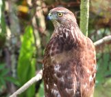 Portrait Of A Beautiful Cooper's Hawk Photo By: Gary Leavens //creativecommons.org/licenses/by/2.0/