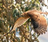 Cooper's Hawk In Flight Photo By: Lee Jaffe Https://creativecommons.org/licenses/by/2.0/