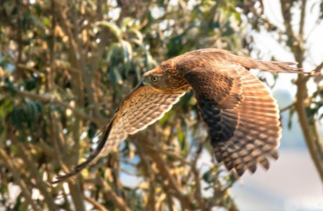 Cooper's Hawk in flight Photo by: Lee Jaffe //creativecommons.org/licenses/by/2.0/