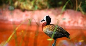 White-Faced Whistling DuckPhoto by: Kindra R//pixabay.com/photos/nature-wildlife-animal-bird-3307353/