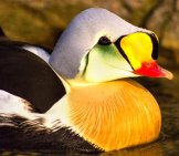 Closeup Of A King Eider Duck Photo By: Skeeze //pixabay.com/photos/king-Eider-Duck-Swimming-Water-1090564/