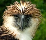 Closeup Of A Beautiful Philippine Eaglephoto By: Hcruz985Https://creativecommons.org/licenses/by-Sa/2.0/