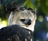 Harpy Eagle With Hind Talons Up To The Size Of Grizzly Bear Claws! Photo By: Cuatrok77 Https://creativecommons.org/licenses/by-Sa/2.0/