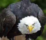 Bald Eagle - I'm Watching You Photo By: Noel Reynolds Https://creativecommons.org/licenses/by-Sa/2.0/