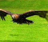 Golden Eagle In Flight Photo By: Paul Wordingham Https://creativecommons.org/licenses/by-Sa/2.0/