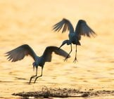A Pair Of White Egrets On A Lagoon At Sunset Photo By: (C) Dashark Www.fotosearch.com