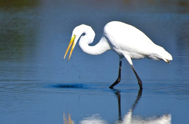 Great Egret hunting for fishPhoto by: (c) rck953 www.fotosearch.com