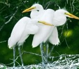 Great White Egret Chicks Photo By: (C) Wallbanger Www.fotosearch.com