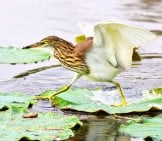 Chinese Egret Running Across The Lily Pads Photo By: (C) Art9858 Www.fotosearch.com