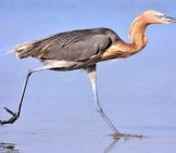 Reddish Egret Stalking The Beach In Florida Photo By: (C) Doncon402 Www.fotosearch.com
