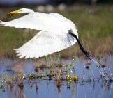 Beautiful Great Egret In Flight Over A Pond Photo By: Denis Doukhan Https://pixabay.com/photos/great-Egret-Flight-Ardea-Alba-Wader-599205/