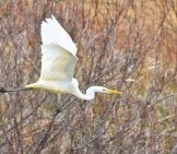 White Egret In Flight Photo By: Santa3 Https://pixabay.com/photos/animal-River-Waterside-Bird-3936946/