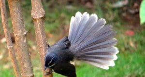 Beautiful Fantail showing off his tailPhoto by: Bishnu Sarangihttps://pixabay.com/photos/white-throated-fantail-flycatcher-302078/
